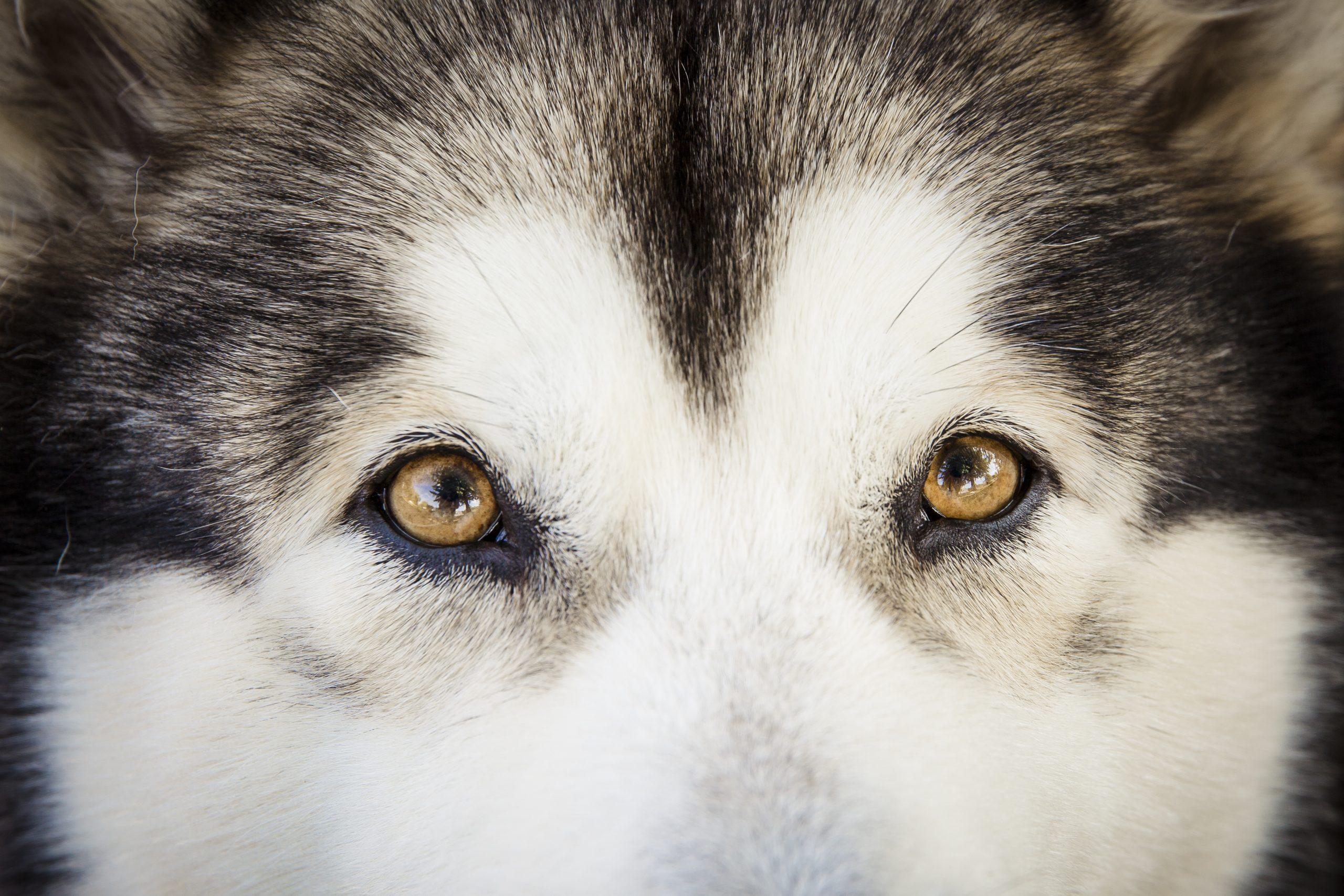 Wolf Eyes Inside - Mercurio