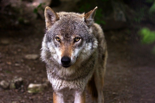 donatore animalista ambientale tutela del lupo